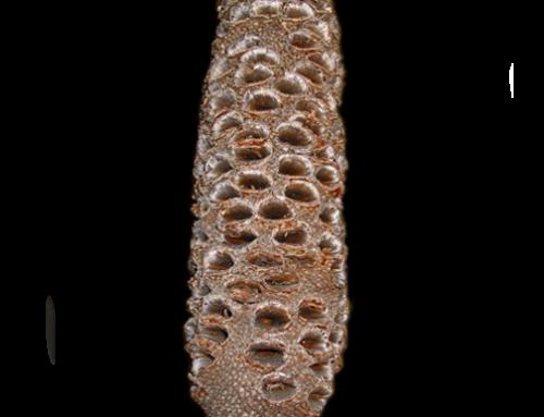 Banksia Pod