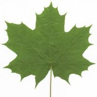 Bigleaf Maple (leaf)