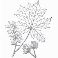 Bigleaf Maple (foliage)