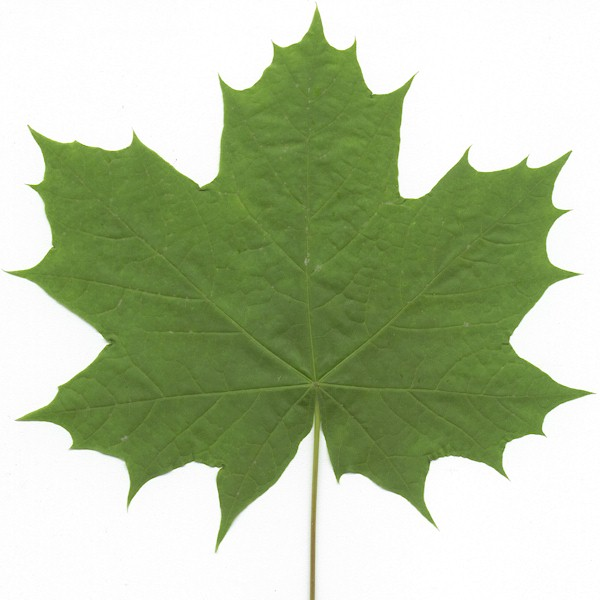 Bigleaf Maple  leaf