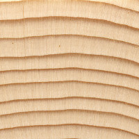 Black Spruce (endgrain 10x)