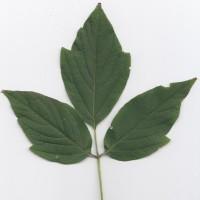 Box Elder (leaf)
