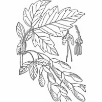Box Elder (leaf-illustrated)