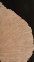 Briar (Erica arborea)