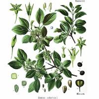 Buckthorn (foliage)
