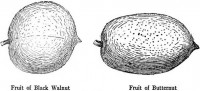 Walnut/Butternut Fruit
