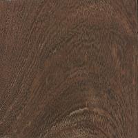 Camelthorn (Vachellia erioloba)