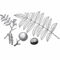 Claro Walnut (foliage)