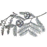 Cypress (foliage)