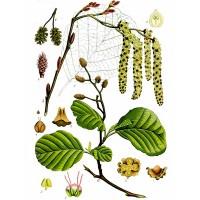European Alder (foliage)
