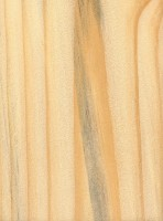 Loblolly Pine (Pinus taeda)