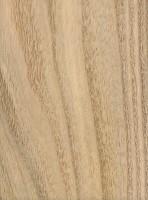 Northern Catalpa (Catalpa speciosa)