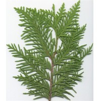 Northern White Cedar (leaf)