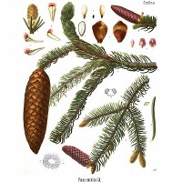 Norway Spruce (foliage)