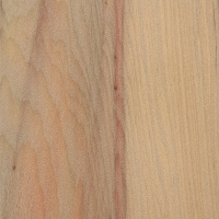 Parana Pine (Araucaria angustifolia)