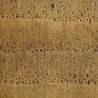 Persimmon (endgrain 10x)