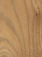 Red Elm (Ulmus rubra)