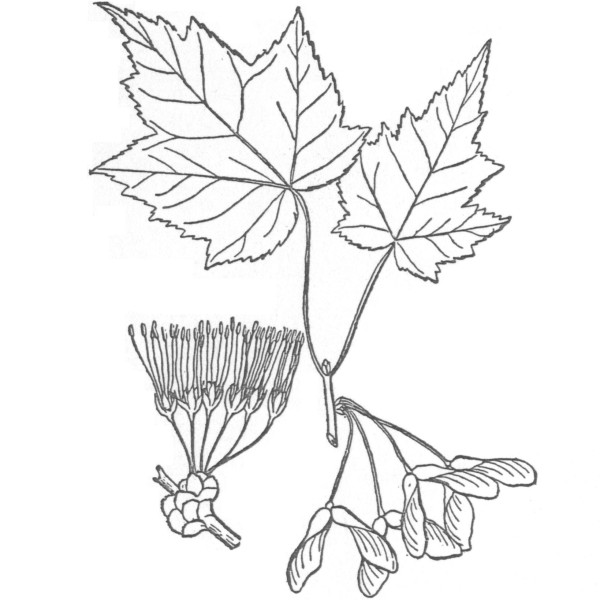 Maple Tree Black And White Drawing Red Maple Trees Have