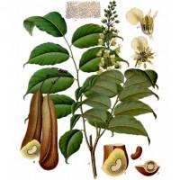 Santos Mahogany (foliage)