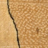 Tamarind (endgrain 10x)
