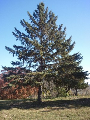 Spruce Tree (excurrent form)
