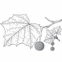 Sycamore (foliage)