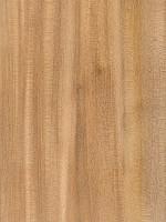 Winged Elm (alata)