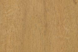Earpod wattle (Acacia auriculiformis)