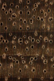 Australian blackwood (endgrain 10x)