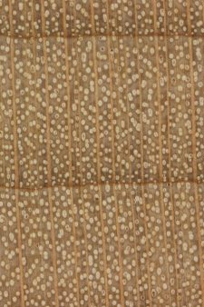 Hard maple (endgrain 10x)