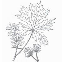 bigleaf-maple-leaf-ill