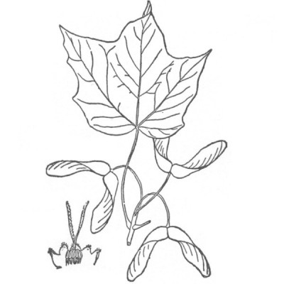 Black Maple (foliage illustration)