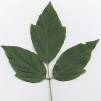 Box Elder (leaf)