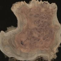 Coolibah burl (Eucalyptus coolabah)