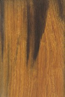 Desert Ironwood (Olneya tesota)