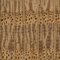 English Oak (endgrain 10x)