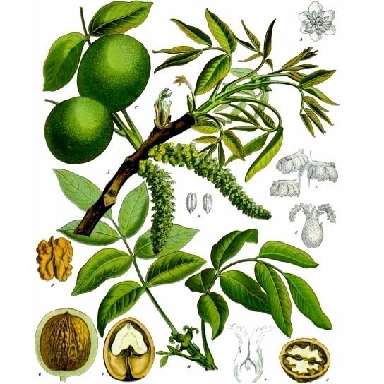 Walnut Tree Species