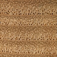 European Ash (endgrain 10x)