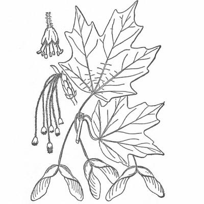 Hard maple (foliage illustration)