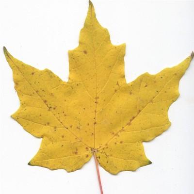 Hard maple (leaf)