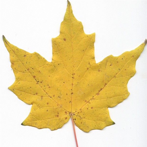 Maple Tree Leaf Identification Pictures
