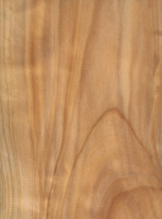 Monterey Cypress (Cupressus macrocarpa)