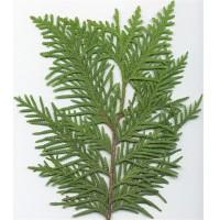Northern White Cedar (leaf)