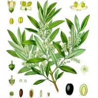 Olive (foliage)