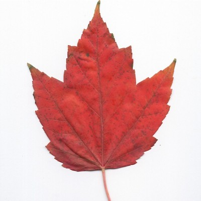Red maple (leaf)