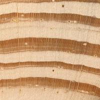 Scots Pine (endgrain 10x)