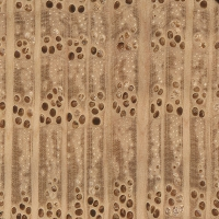 Shumard Oak (endgrain 10x)