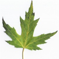 Silver Maple (leaf)