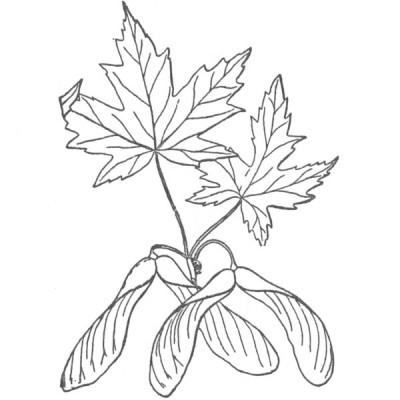 Silver maple (foliage illustration)