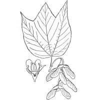 striped-maple-leaf-ill